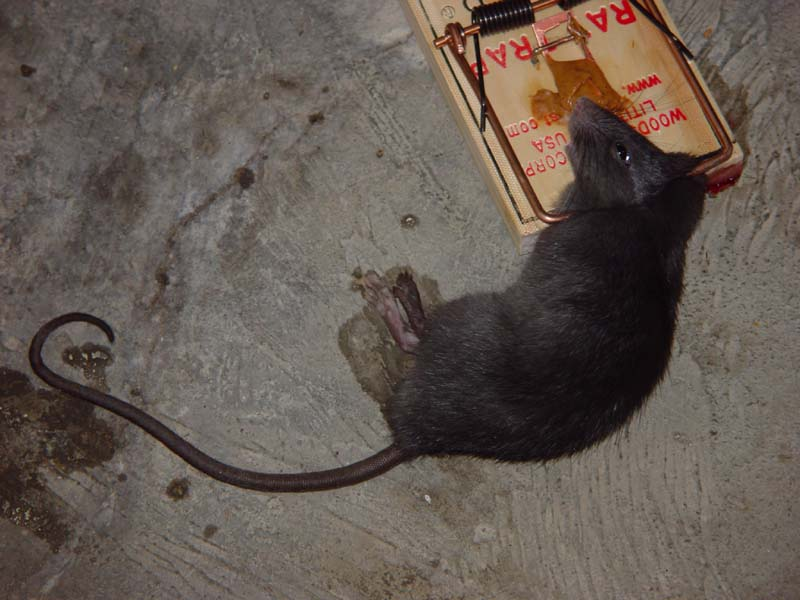 Mo S Victor 7 Rat Trap